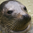 Seal — Stock Photo #1697403