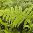 Bracken — Stock Photo #1697709