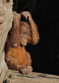 Baby orang utan — Stock Photo