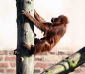 Orang in tree — Stock Photo
