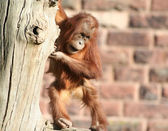 Baby orang — Stock Photo