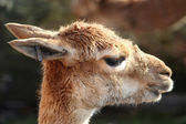 The head of a guanaco, a kind of llama — Stock Photo