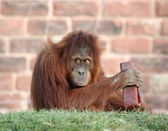 Orang playing — Stock Photo