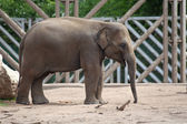 Juvenile elephant — Stock Photo