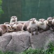 Otter family — Stock Photo