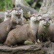 Otters — Stock Photo #1736567
