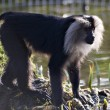 Lion-Tailed Macaque — Photo