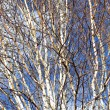 Silver birch branches — Stock Photo #1737385