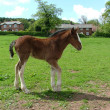 Stock Photo: A Shire foal