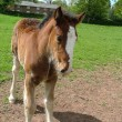 A shire Foal — Stock Photo