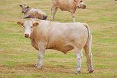 Bullocks — Stock Photo