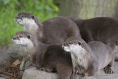 A group of otters standing on a rock — Stock Photo