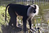 Lion-Tailed Macaque — Stockfoto