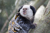 Marmoset — Stock Photo