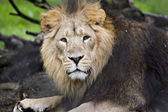 An asiatic lion — Stock Photo