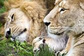Sleepy lions — Stock Photo