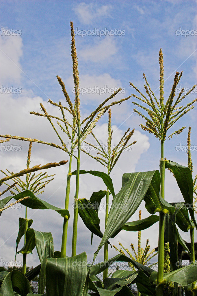 Corn growing in the field — Stock Photo #1734965