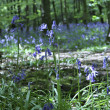 Stock Photo: Bluebells