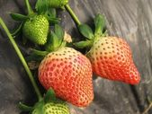 Unripe strawberry in the farm — Stock Photo