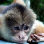 Thinking monkey — Stock Photo #1584556