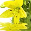 Card whise Flower of yellow lily — Stock Photo #1586509