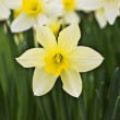 Flower of yellow narcissus — Stock Photo