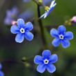 Flower of a blue forget-me-not macro — Stock Photo
