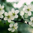 Branch of a blossoming apple-tree — Stock Photo #1587804