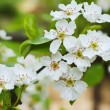 Stock Photo: Branch of a blossoming apple-tree