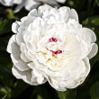 Flower of a white peony close up — Stock Photo