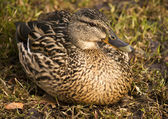 Duck sitting on a grass — Stock Photo