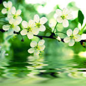 Branch of blossoming apple-tree — Stock Photo