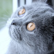 Royalty-Free Stock Photo: Portrait of sad British grey cat