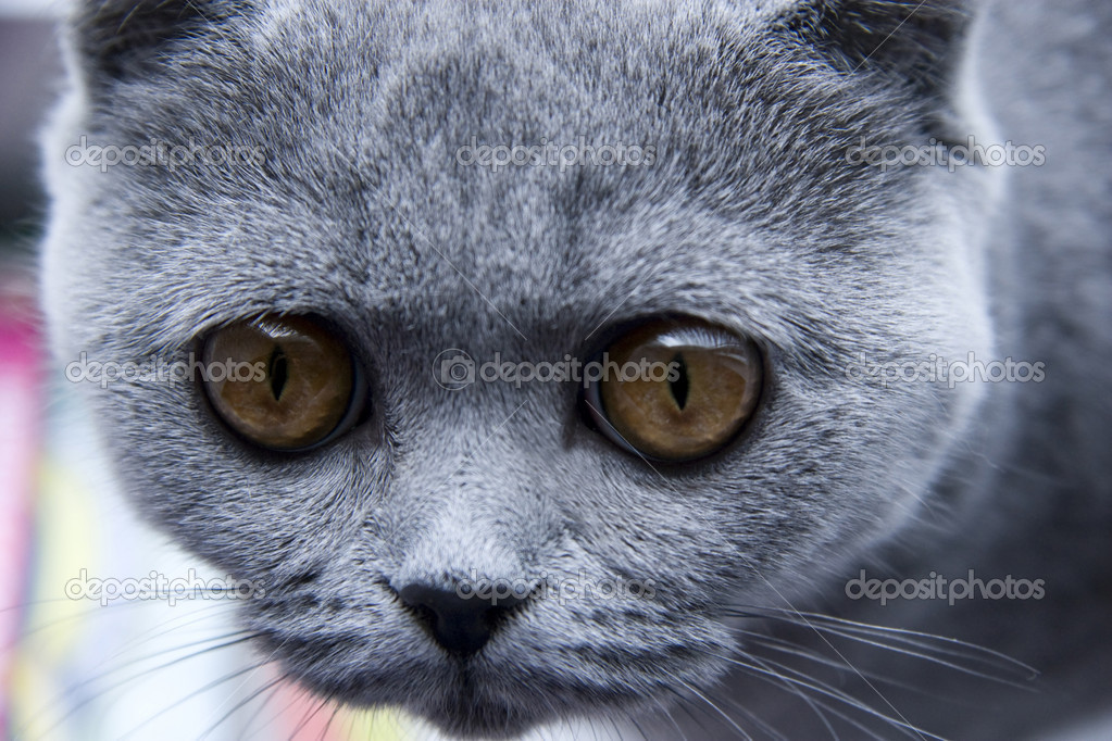 Portrait of Curious British grey cat close up — Stock Photo #1602005