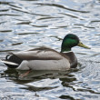 Wild duck floating in water - Stock Photo