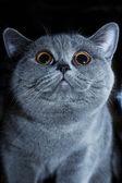 Muzzle of British gray cat — Stock Photo