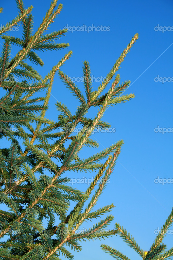 Closeup of evergreen branch. Plenty of copy space. — Stock Photo #1610031