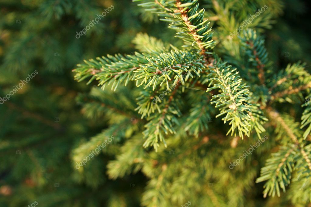 Closeup of evergreen branch. Plenty of copy space. — Stock Photo #1610209