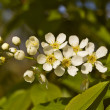 Bird cherry tree — 图库照片