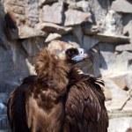 vautour fauve — Photo