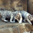 White tigers — Foto Stock
