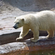 Polar bear — Stock Photo #1593252