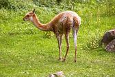 Llama guanaco — Stock Photo