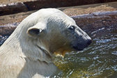 Polar bear. Ursus maritimus. — Stock Photo