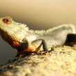 Gecko — Stock Photo