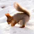 Red squirrel — Stock Photo #1834125