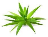 Aloe — Stock Vector