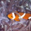 Stock Photo: Tropical fish Clownfish