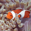 Anemone and Clown-fish — Stock Photo