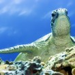 Turtle — Stock Photo #1593797